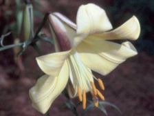 Royal Gold Lily cropped